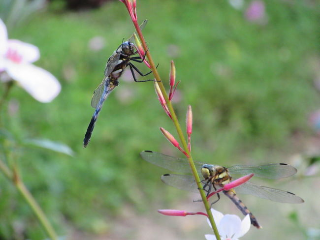 Close-up Dragonfly Insect Nature No People Outdoors Plant Two Insects
