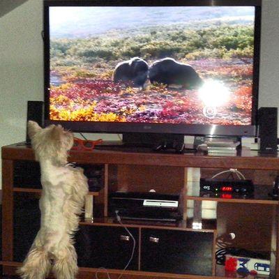 Cachorro também assiste TV. Quem disse que não? Westie Westhighlandwhiteterrier