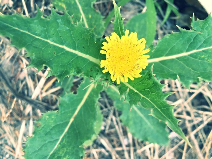 Yellow Dandelion Weed Flower Green Leaves Nature On Your Doorstep Weeds Are Beautiful Too Dandelion Yellow Flower Yellow Dandellion Green Yellow Nature_collection Wildflower Natural Beauty Natural Weed <3