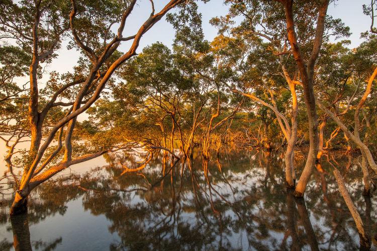 Mangroves in