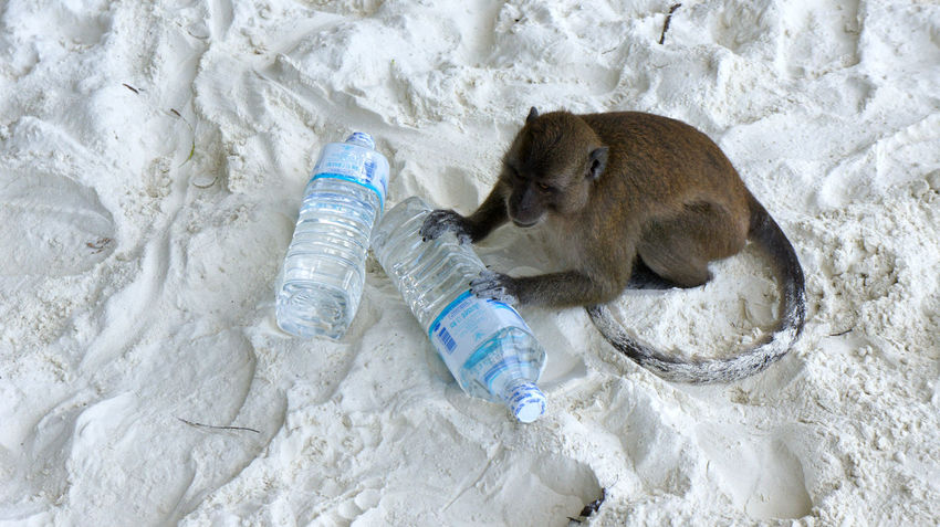 Animal Barbary Ape Beach Beauty In Nature Macaque Mammal Monkey Monkey Island Monkey Island-Thailand Nature No People Outdoors Rock - Object Thief White Sand