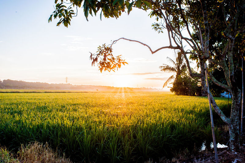Sunrise on paddy plant at Sekinchan Selangor Malaysia Ear Of Wheat Streaming In Bloom Shining Oilseed Rape Cereal Plant Cultivated Land Wheat Petal Blossom Plant Life Mustard Plant Flower Head Stamen Barley Botany Poppy Sunbeam Grain Wildflower Blooming Pollen