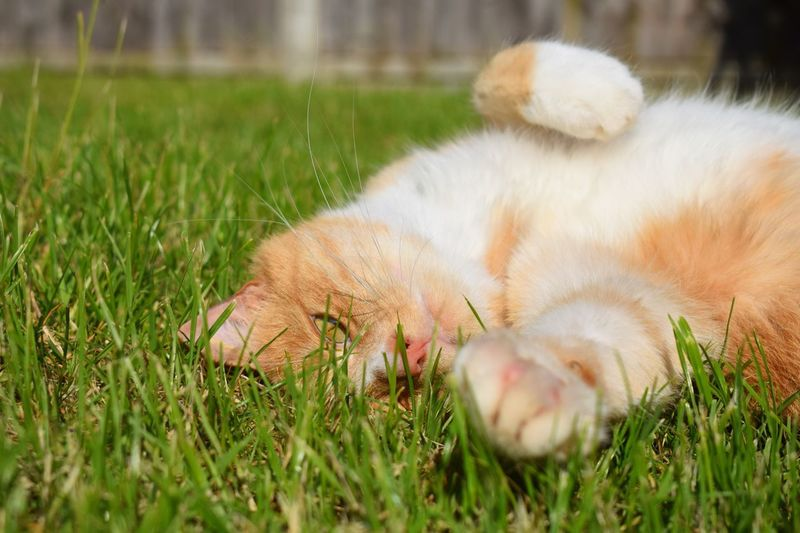 Paws Friendly Cat Mammal Relaxed Relaxing Stretching Cat Animals Pets Ginger Cat Tummy Sunbathing Cat Stretching Cats Cat Selective Focus 43 Golden Moments