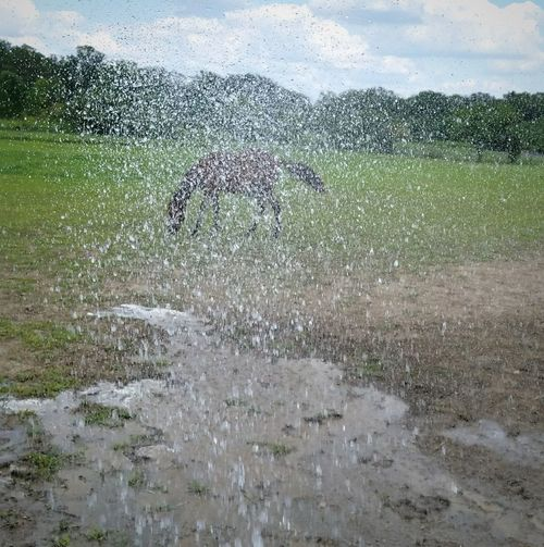 Playing in the water Water Outdoors No People Nature Mypet PhotoshootHorselife Country Life Horselove Summer Time  Horsepictures Horsesofinstagram Takingpictures Takingphotos HorseNAround Horse Photography  Tennesee Walking Horse Horses Of Eye Em