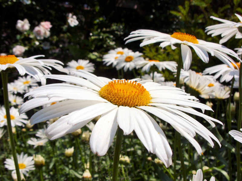 Beauty In Nature Blooming Flower Flower Head Focus On Foreground Fragility Freshness Growth Margariten Margarites Nature No People Outdoors Petal Plant Pollen White Color Üppige Blütenpracht EyeEm Selects Sommergefühle