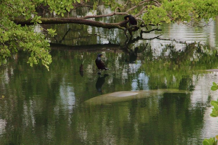 #nature#wildlife #nature_collection #EyeEmNaturelover #nature Nature Photography Trees Birds Canals And Waterways Daylight Manatee In The Wild Mangroveplant No People, Outside Photography