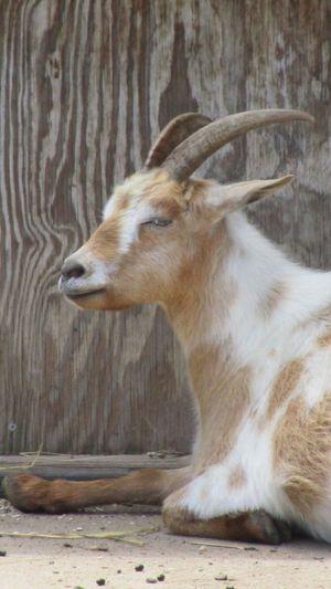 Animal Themes One Animal Goat Indoors  Nature Close-up