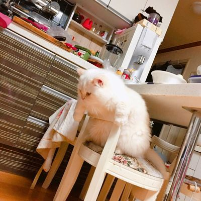 Plump Chubby Cat Heema Cute♡