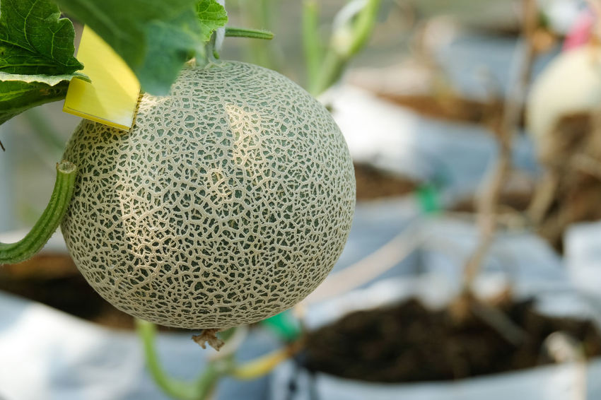 Beauty In Nature Close-up Day Food Food And Drink Fragility Freshness Growth Leaf Melon Nature No People Outdoors Plant