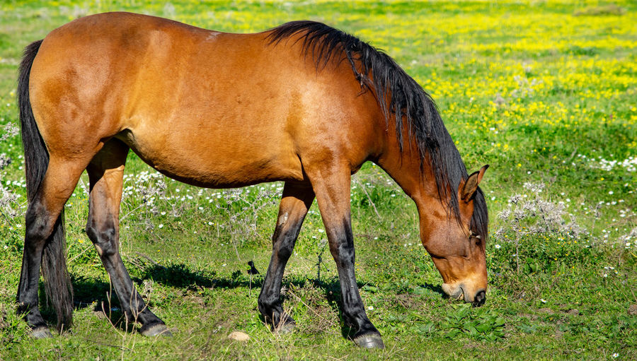 a beautiful brown horse grazing on fresh grass shoots on a spring day Mammal Animal Themes Animal Domestic Animals Livestock Grass Plant Domestic Animal Wildlife Horse Land One Animal Field Brown Grazing Pets Nature Vertebrate Agriculture Eating No People Herbivorous Outdoors Profile View Horses Horse Photography  Horse Feeding Wildlife Wildlife & Nature Wildlife Photography Steed Mare