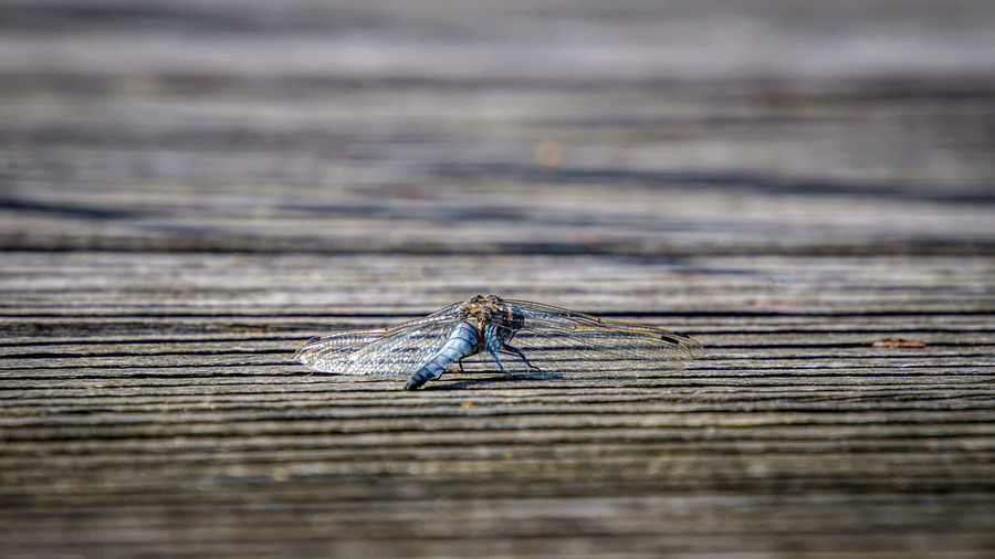 Close-up of grasshopper on wooden plank