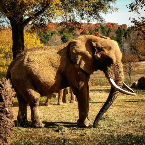 Nczoo Elephant Fall Beauty Ncfall Elephant Mountain Elephantlove Sunlight Shadow Tree Animal Themes Full Length One Animal Outdoors Nature No People Animals In The Wild Day Mammal
