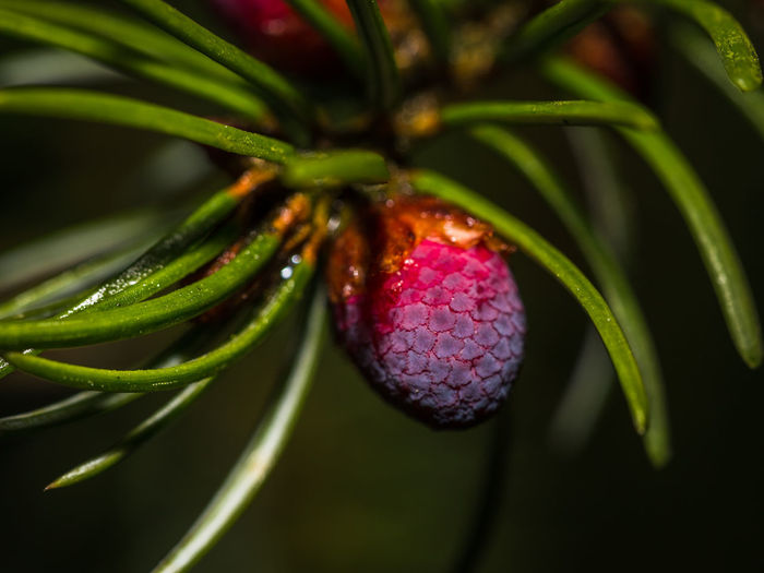 close up of a young pineapple in fur tree Closeup Beauty In Nature Branch Close-up Day Freshness Fruit Green Color Green Color Growth Leaf Nature No People Outdoors Plant Purple Red Spring Spur Tree Tree Unfolding Young Fruit Young Pineapple