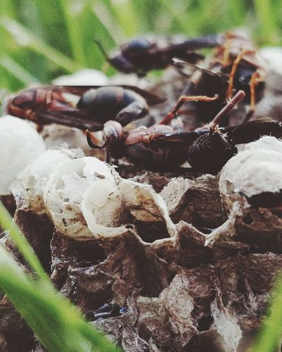 The nest that was. Wasp Exceptional Photographs Nest Insects  Pesticides Natures Diversities Nature's Diversities