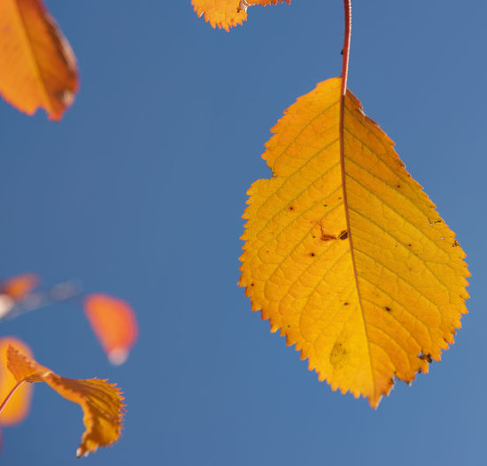 Close-up of autumnal leaves against clear sky