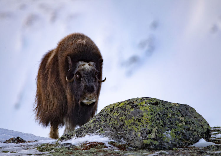 American bison standing on mountain against cloudy sky during winter