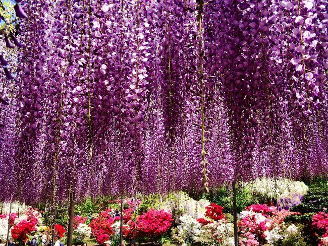 Wisteria Travel Destination 9 Places Of The World Of Dream Ashikaga Flower Park Japan Azalea EyeEm Flower Purple Flowers Flower 2015.4.30. あしかがフラワーパーク💜✨😃世界の夢の旅行先9ヶ所選出✨