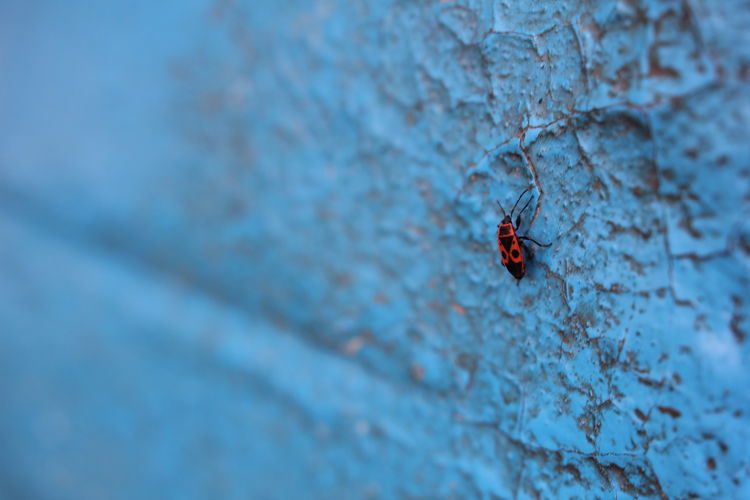 A fire bug on a blue back ground. Perfect colours! :D Animal Themes Animal Wildlife Animals In The Wild Background Beatle Beauty In Nature Blue Bug Close Up Close-up Day Fire Bug Insect Insect Photography Nature No People One Animal Outdoors Red Tiny Wallpaper