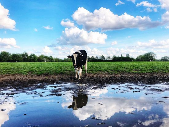 Reflection Bontekoe Cow Mammal Water Sky Domestic Animals Cloud - Sky Animal Domestic Agriculture One Animal Farm Field Farmer