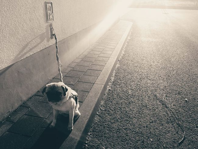 Dog Taking Photos No People 2016 Iphone6 Iphonephotography Animals Pets Pug Dumplings Poly-poly Sun Sunlight Streetphotography Parking Spot Dog Parking Spot Enjoying Life Streets Showcase: February The Street Photographer - 2016 EyeEm Awards