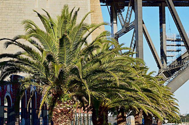 💚 lining up 💚 Travel Photography Australia Nikonphotography Palm Trees Sydney, Australia SydneyHarbourBridge TreePorn Tree_collection  Treelovers Sydney