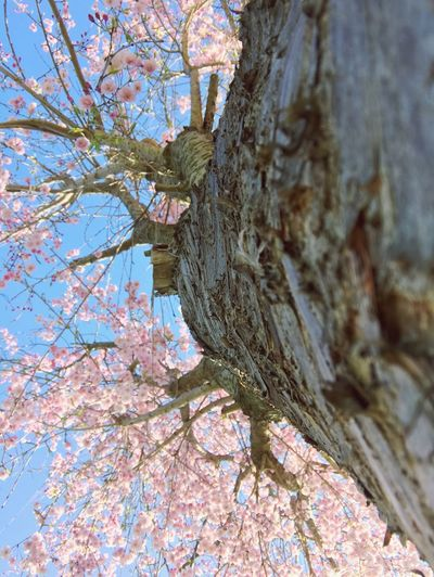 Cherry blossom tree. I might post a few of this guy, bear with me... Tree Flower Nature Beauty In Nature Outdoors Low Angle View Scenics Springtime