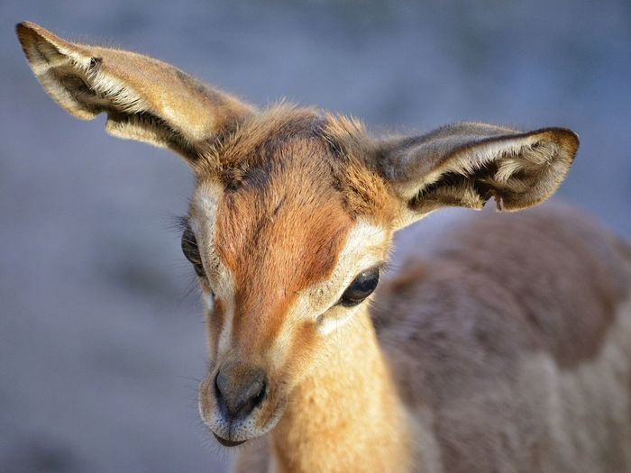 Close-up of young gazelle