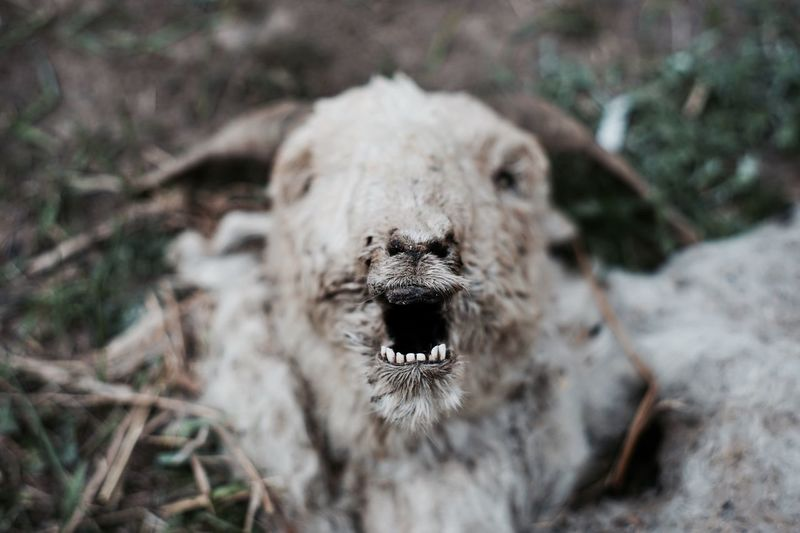 One Animal Animals In The Wild Death Outdoors Nature Sheep China Animal Themes Mouth Open Close-up Animal Bone