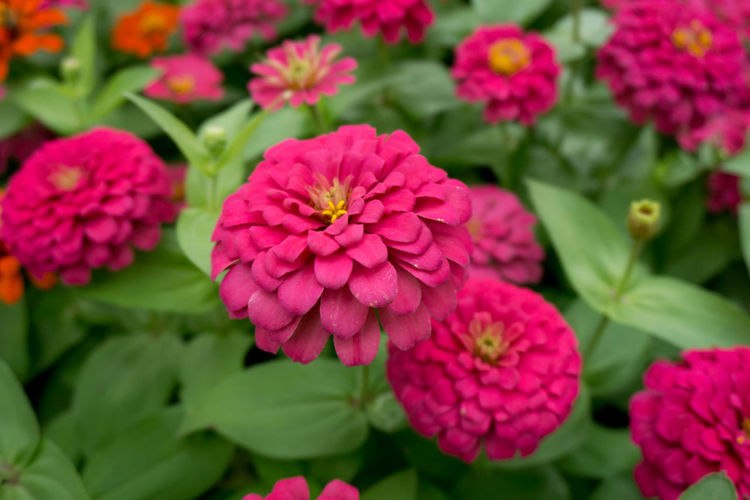 Flowering Plant Flower Fragility Vulnerability  Plant Beauty In Nature Freshness Petal Growth Flower Head Inflorescence Close-up Pink Color Nature Green Color Day Leaf Plant Part No People Outdoors