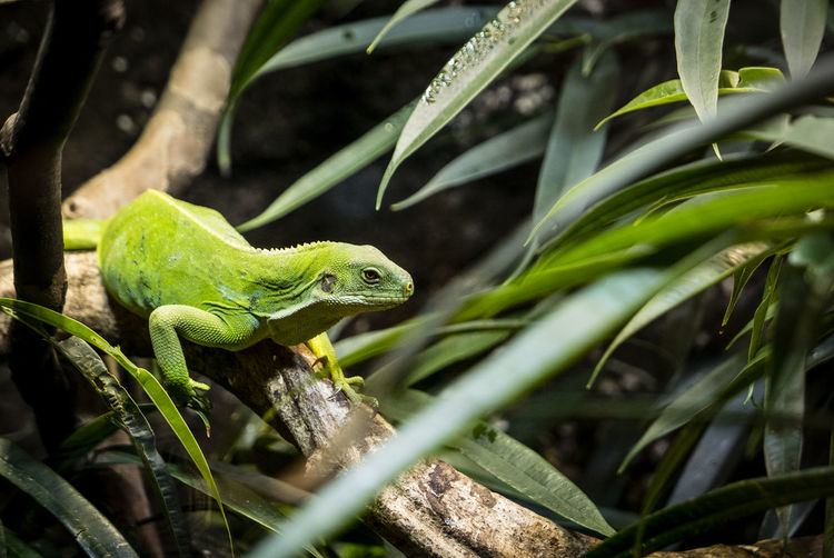 Animal Animal Scale Animal Themes Animal Wildlife Animals In The Wild Close-up Day Focus On Foreground Green Color Growth Iguana Klimahaus Bremerhaven Leaf Lizard Nature No People One Animal Outdoors Plant Plant Part Reptile Selective Focus Vertebrate EyeEmNewHere #FREIHEITBERLIN