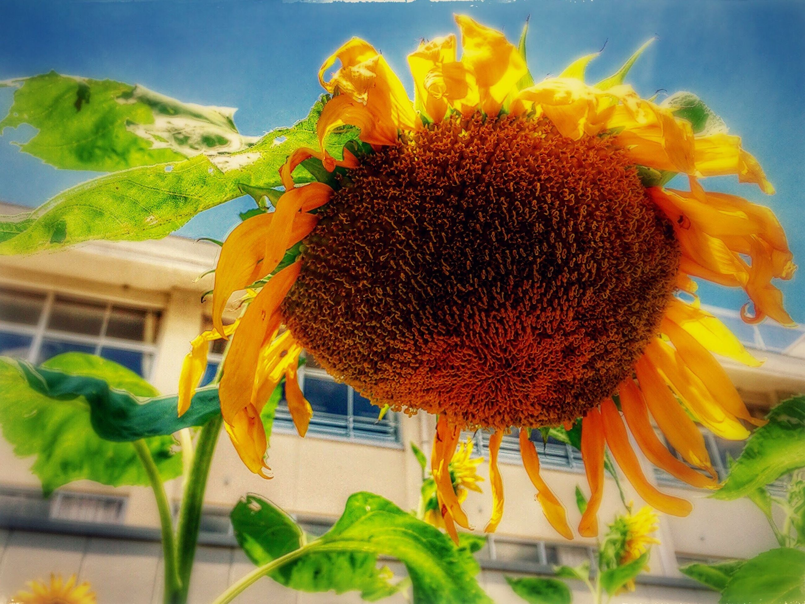flower, fragility, freshness, growth, architecture, close-up, built structure, sunflower, yellow, petal, building exterior, plant, nature, flower head, in bloom, growing, houseplant, blossom, beauty in nature, focus on foreground, green color, day, vibrant color, springtime, softness