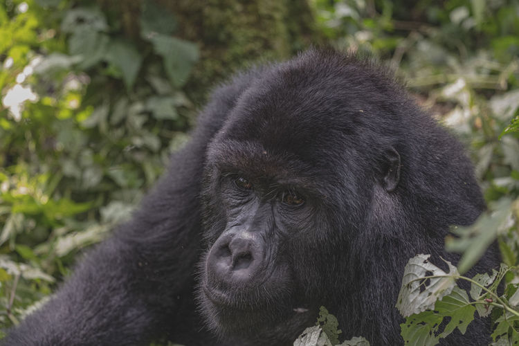 Close-up portrait of a monkey