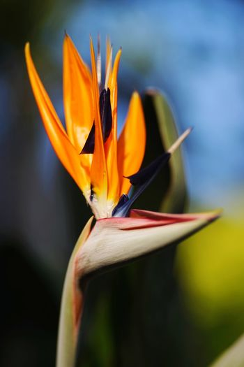 Flower Of Paradise EyeEm Selects Petal Tropical Flower Blossom Botany Focus Plant Life