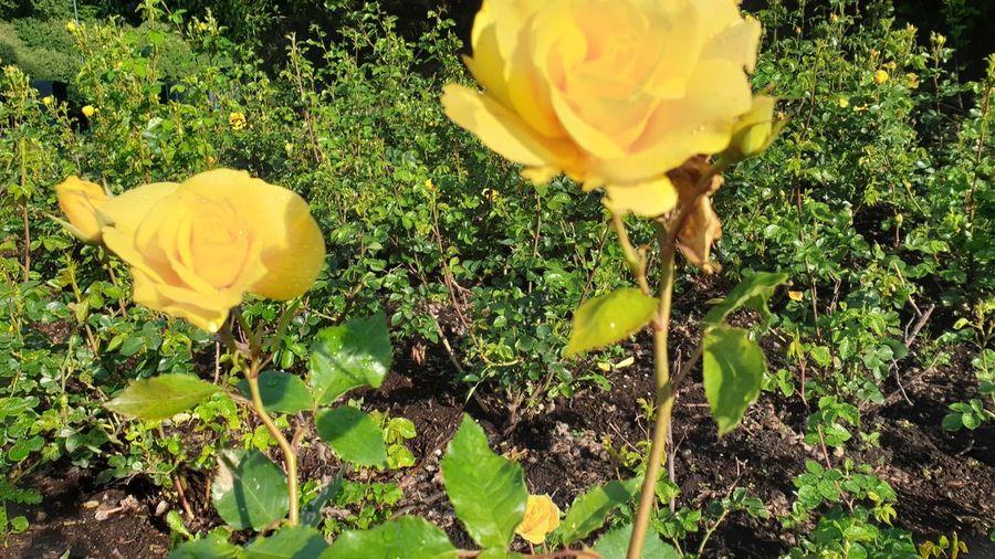 pueist Flower