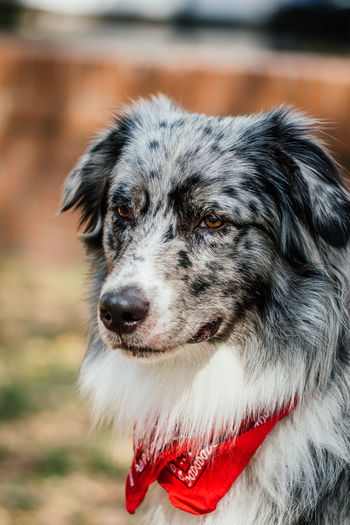 Australian Shepherd looking at something with focus on foreground Australian Shepherd  Pet Photography  Animal Hair Aussie Black And White Dog Dog Dog Portrait Domestic Animals Focus On Foreground Hair Looking Looking At Camera Mammal No People One Animal Pets Portrait Purebred Dog
