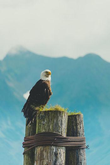 Eagle on resurrection bay