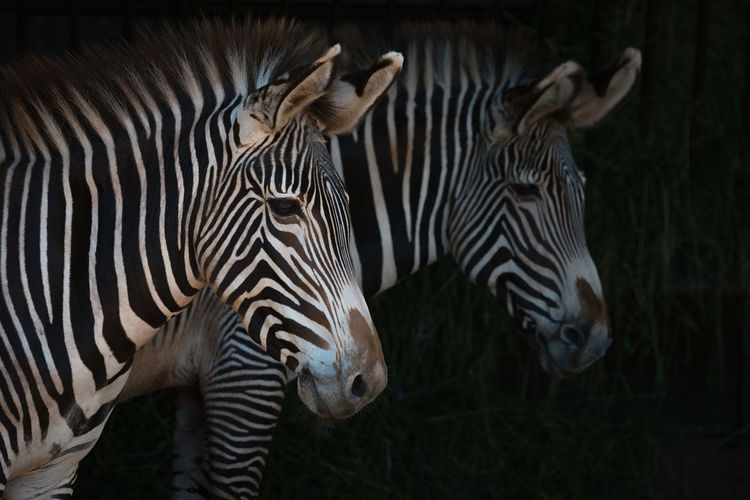 Animal Animal Themes Animal Wildlife Animals In The Wild Close-up Day Equus Grevyi Grass Grevy's Zebra Imperial Zebra Mammal Nature Nature No People Outdoors Striped Two Wildlife Zebra Zebra