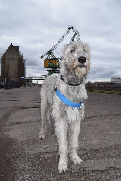 One Animal Animal Themes Outdoors Metallic Structure Spring 2017 March 2017 How's The Weather Today? From My Point Of View Urban Exploration Discover Your City Magdeburg Dogs Of Spring Dogwalk Dog Of The Day Cearnaigh Dogs Of EyeEm Irish Wolfhound Dogslife