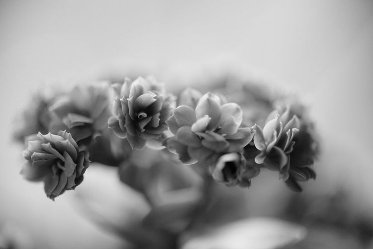 Fine Art Photography Macro Photography Postcard Beauty In Nature Blackandwhite Photography Bud Close-up Day Flower Flower Head Flowering Plant Focus On Foreground Fragility Freshness Growth Inflorescence Nature No People Outdoors Petal Plant Selective Focus Vulnerability