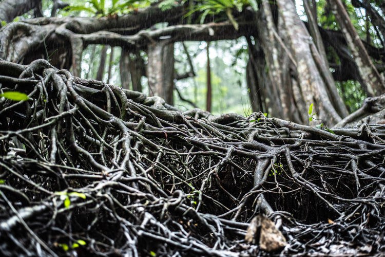 Tree Roots Root Forest Nature Green Old Plant Environment Background Wood Natural Park Outdoor Branch Growth Landscape Light Texture Leaf Ground Trees Trunk Summer BIG Large Pattern Soil Spring Sky Season  Earth Bark Yellow Banyan Day Moss Life Autumn Garden