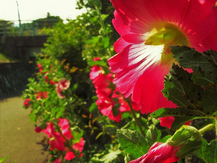 Hollyhock Hollyhocks Nature Close-up Flower Flower Head Flowering Plant Nature No People Outdoors Plant Red