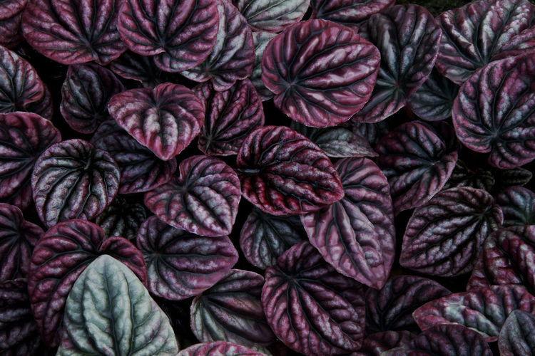 Purple leaves tropical plant natural pattern background