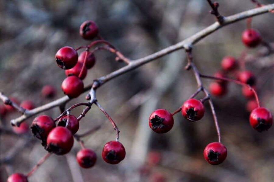 Fruit Red Rose Hip Nature Growth Focus On Foreground Outdoors Day Food And Drink Growing Close-up Tree No People Twig Plant Freshness Branch Beauty In Nature Food