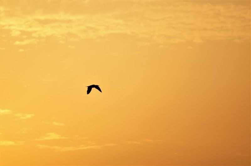 Bird flying high at sunset. Animal Themes Animal One Animal Bird Spread Wings Flying Mid-air Flying High Mammal Vertebrate Animal Wildlife Animals In The Wild Alone Solo Sunset Orange Color Sunlight Silhouette Shadow Sky Cloud - Sky Tranquility Tranquil Scene Nature Beauty In Nature Scenics - Nature No People Dusk Outdoors Feather  Beak Low Angle View Focus On Foreground Side View