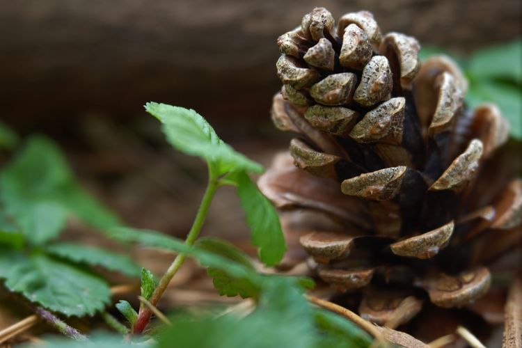 Autumn Autumn🍁🍁🍁 Close-up Plant Pine Cone Pine Tree Change Fallen Fallen Leaf