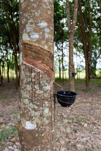 Tree Plant Tree Trunk Trunk Forest Land Nature Focus On Foreground Day Growth No People Outdoors WoodLand Wood - Material Tranquility Beauty In Nature Close-up Black Color Landscape Thailand Rubber Trees In Thailand Travel Photography Travel Destinations