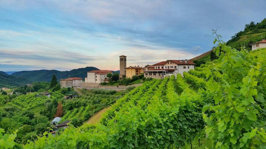 Vineyard against cloudy sky