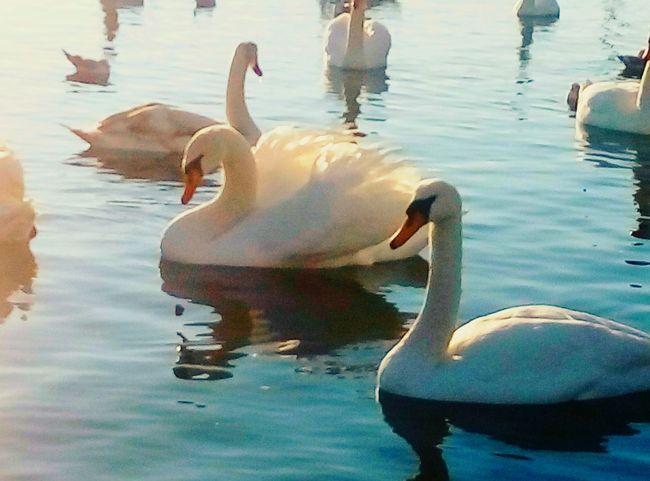 Красивые и грациозные лебеди Water Lake Nature Animal Themes Sea