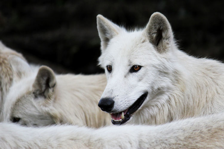 http://www.head-eye-heart.com Animal Animal Body Part Animal Hair Animal Head  Animal Themes Close-up Day Domestic Animals Focus On Foreground Hungry Mammal Nature No People Outdoors Pets Polarwolf Selective Focus Whisker White White Color Wolf WOlves