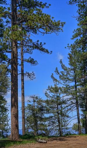 Showcase April Outdoor Life Outdoor Photography Walking Around Landscape_Collection Outdoor Activity The Week Of Eyeem California Love Tree_collection  Pine Tree Pinetrees Figueroa Mountain